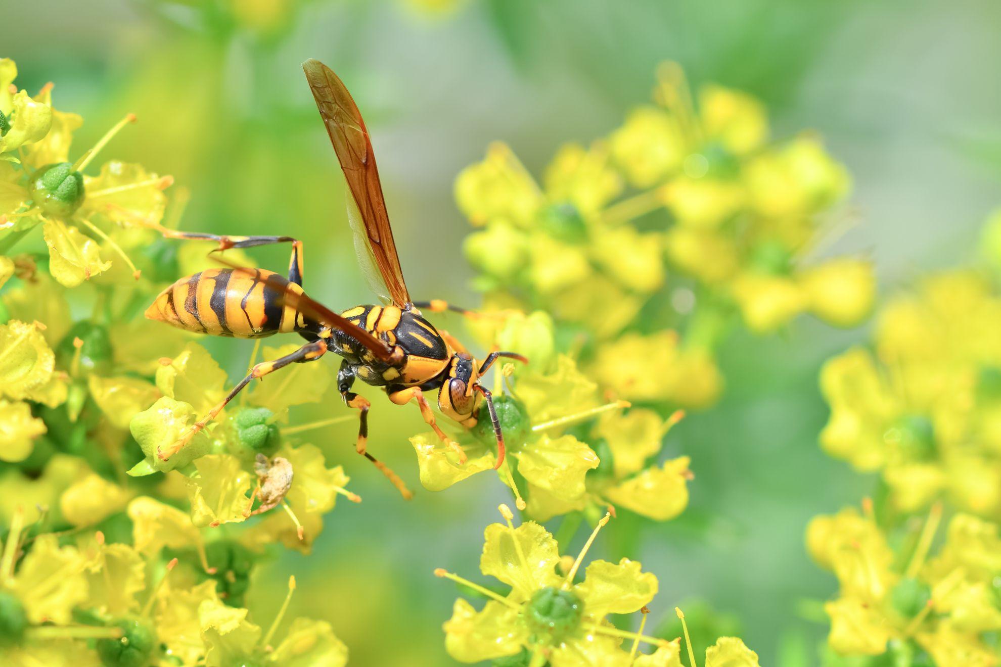 花にとまるアシナガバチ