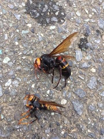 スズメバチの死骸