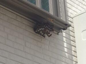 窓下にあるアシナガバチの巣