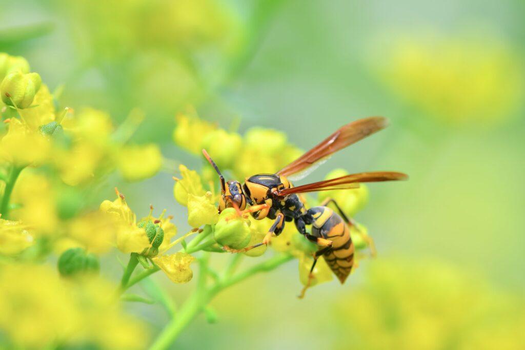 花にとまっているアシナガバチ