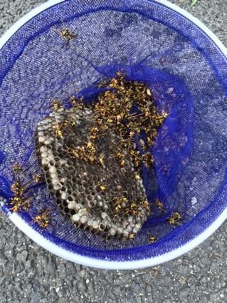 捕獲したスズメバチと巣