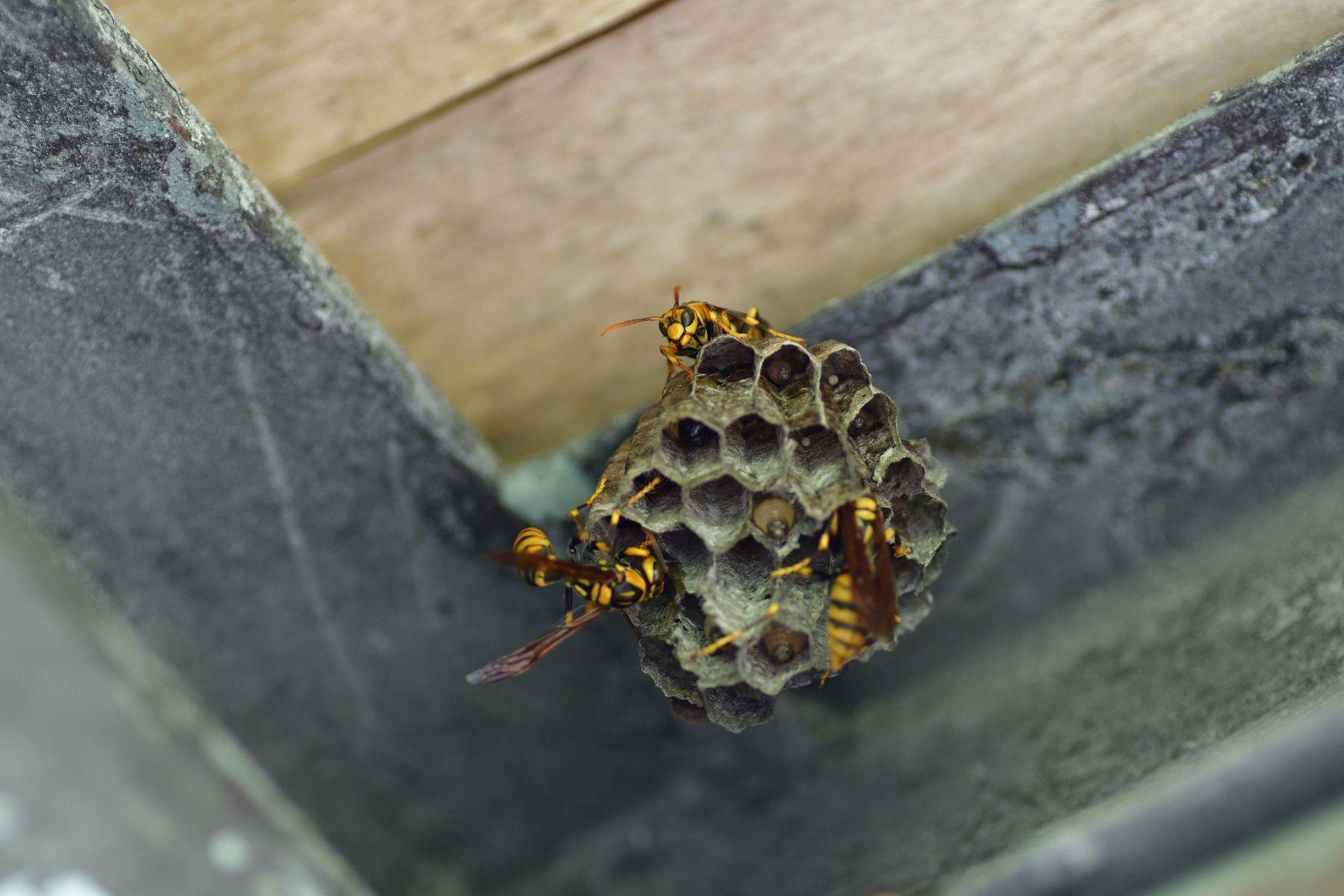 巣に群がる蜂